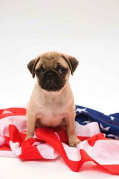 """This puppy was """"Born in the USA."""" 