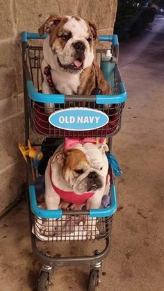 Where did our Chauffeur go? Cute #Bulldogs