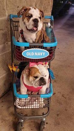 Where did our Chauffeur go? Cute #Bulldogs