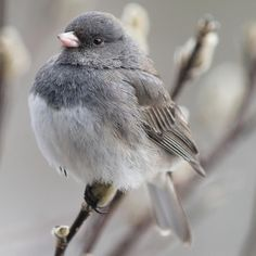 Did you know that the Dark-eyed Junco is the most commonly seen bird during the Great Backyard Bird Count? Wondering what the GBBC is? It's an easy way to help scientists study birds by counting the ones in your backyard. Learn more about the Great Backyard Bird Count, which runs from February 17-20, by clicking the link in our bio!⠀ ⠀ Photo: Michele Black/Great Backyard Bird Count⠀ ⠀