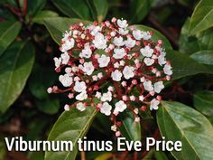 A medium sized evergreen shrub, the Eve Price variety of Viburnum tinus has a bushy habit with oval, dark green leaves that have a leathery texture. Dark pink buds open from late winter to reveal white flowers, which are then followed by deep, metallic blue berries. Important Features of Viburnum tinus Eve Price: Max. Height: 2.5m Max. Spread: 2.5m