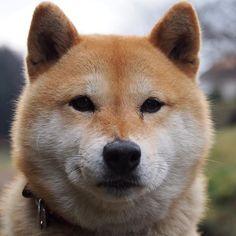 Pinを追加しました!/明日は雪なのかな、雨なのかな。お天気が気になるね。それでは、おやすみなさい #shiba #dog #komugi #shibe #柴犬