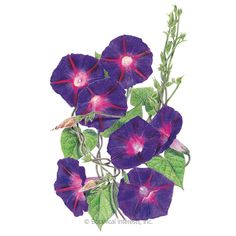 Grandpa Ott S Morning Glory Seeds Morning Glory Seeds Morning Glory Heirlooms Flowers