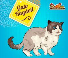 #SabiasQue el gato Ragdoll nace del cruce entre gatos Persa blanco y Sagrado de Birmania. Conoce más de nuestra #RazadelMes en: http://www.universomascotas.co/razas/gatos/ragdoll/72