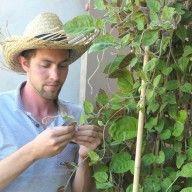 La maladie du cul noir de la tomate | Alsagarden - Le Blog des Jardiniers Curieux