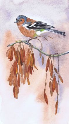 Chaffinch on ash keys by Julie Horner