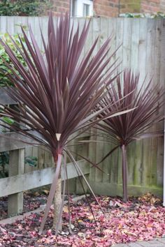 cordyline australis red star - Google Search
