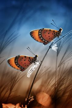 butterflies by Muhammad Ridha