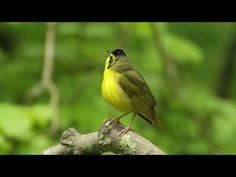 Kentucky Warbler Portrait and sounds of the blue winged and golden winged warblers.