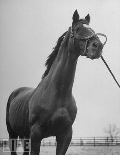 """Man o' War died quietly on November 1, 1947 at the age of 30 (his age in this photo). Man o'War was eventually moved to the Kentucky Horse Park, where the original burial site was recreated. More than 50 years after his death, he still attracts thousands of visitors anually. And in the words of Will Harbut, Red's groom, he is still the """"mostest hoss."""""""