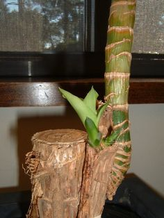 """""""Massangeana,"""" commonly referred to as corn plant, is a Dracaena fragrans cu…"""