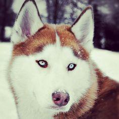 Red Siberian Husky - one day!