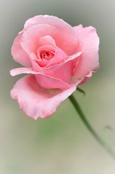"""""""A Rose is a Rose is a Rose"""".the words of Gertrude Stein could not be more true. Look at this beautiful, perfect rose. Rose Pictures, Flower Photos, Pretty Roses, Beautiful Roses, My Flower, Flower Power, Pink Roses, Pink Flowers, Rose Care"""
