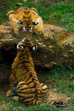 Tiger kiss!!  Wdsta1