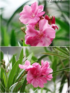 Rokto Korobi (রক্তকরবী) - Nerium Oleander