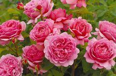 Princess Alexandra of Kent (Ausmerchant)  プリンセス・アレキサンドラ・オブ・ケント  輝くような温かみのあるピンク色で、珍しいほどの大輪です。うっとりとするような紅茶の新鮮な香りは、次第にレモンの香りへと変化し、最終的にはほのかなブラックカラント(クロフサスグリ)の香りへと移り変わります。  オフィシャルサイト http://www.davidaustinroses.co.jp/japan/showrose.asp?showr=4917  楽天 http://item.rakuten.co.jp/davidaustinroses/5997/
