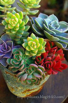 Colorful succulents for indoors Succulent Gardening, Succulent Terrarium, Planting Succulents, Container Gardening, Planting Flowers, Succulent Plants, Air Plants, Garden Plants, Indoor Plants