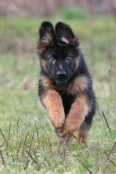 A German shepherd puppy having a run and some fun.... so cute!