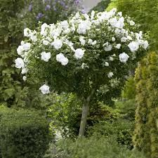 Havearbejde Distinctive White Blooms on a Dwarf Tree - The White Rose of Sharon tree packs a flowery White Flowering Trees, Flowering Shrubs, Unique Trees, Small Trees, Rose Of Sharon Tree, Popular Tree, Evergreen Vines, Fast Growing Trees, Rose Trees