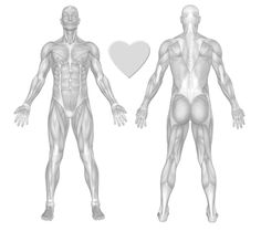 Muscles of the Body Exercise Chart - FreeTrainers.com