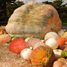 Without farmers, we wouldn't have pumpkins like these to carve. Wouldn't you love to carve this?   Thank you farmers for all that you do!