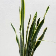 Snake Plant Care Guide   Fiddle & Thorn Ferns Care, Snake Plant Care, All About Snakes, Inside Plants, Indoor Plants, Home Plants