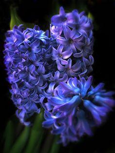 ~~Blue Hyacinth by Jessica Jenney~~