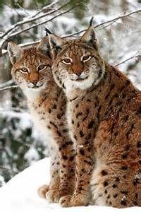 Eurasian lynx kittens - Bing Images