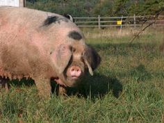 Gloucestershire Old Spot pig @Joan Rakowitz we need some of these for our ranch! lol
