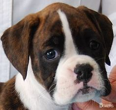 Get wonderful tips on Boxer Dogs. They are readily available for you on our website. Get wonderful tips on Boxer Dogs. They are readily available for you on our website. Boxer And Baby, Boxer Love, Cute Puppies, Cute Dogs, Dogs And Puppies, Doggies, Big Dogs, I Love Dogs, Beautiful Dogs