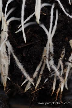 The Lathyrus odoratus roots in this Deep Rootrainers cell have formed a heart shape!