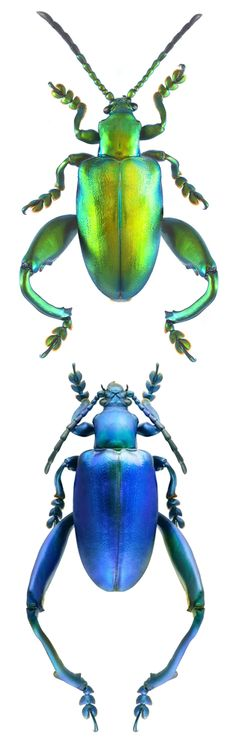Sagra longicollis green and blue forms