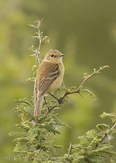 mis fotos de aves: Polystictus pectoralis Tachurí Canela Bearded Tach...
