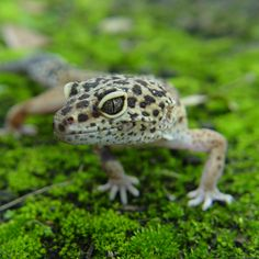 Leopard Gecko Care tips: general, food, housing and common diseases. #leopardgecko