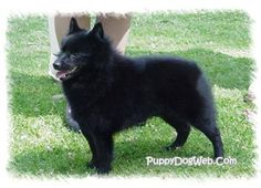 if you want a loyal, snuggly, best friend you should so check out schipperkes!