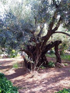 2000 year old olive tree in the Garden of Gethsemane in Israel!!!!