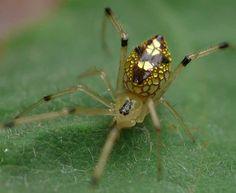 ¿Una araña que es una joya? Thwaitesia nigronodosa Esta especie es un endemismo australiano. Fue descrita por primera vez en 1912. Su característica más singular es la coloración metálica de su abdomen que parece imitar al oro y la plata. Thwaitesia nigronodosa es una araña de la familia Theridiidae. Una especie de la que existe poca información pero que es fácilmente reconocible por su inconfundible aspecto.