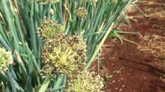 Negi Seed Production, Onion, Seeds, Plants, Onions, Plant, Planets
