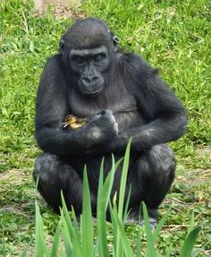 A little duckling wandered from it's mom at the Bristol Zoo. This Gorilla was seen taking care of the duckling and it was later returned to it's family.