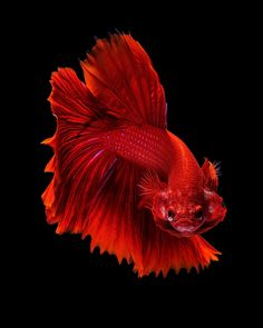 Red dragon - Capture the moving moment of red siamese fighting fish isolated on black background. Betta Fish Types, Betta Fish Tank, Beta Fish, Pretty Fish, Cool Fish, Beautiful Fish, Colorful Fish, Tropical Fish, Freshwater Aquarium