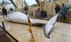 """Japanese """"scientific research"""" kills 333 whales"""