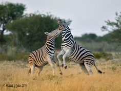 https://flic.kr/p/HmqAzj | Zebra Fight! | Zebra are very social animals. Not just the stalions fight, but their fights are much more prolonged and violent. Sometimes the fights last twenty minutes or so. Sometimes less than a minute or two. When they aren't fighting, they are often using each other's back as a resting place. There's always a lot of social interaction, both physical and verbal. I can hear their heehaw as I write this.