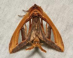 Prominent Moth (Tarsolepis taiwana) Notodontidae 23/09/2014)