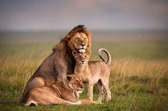 Leeuw met zijn (jonge) dames