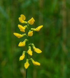 Lathyrus pratensis / Meadow vetchling / Yellow pea / Meadow pea Wild Flowers, Herbs, Yellow, Plants, Herb, Plant, Planting, Planets, Gold