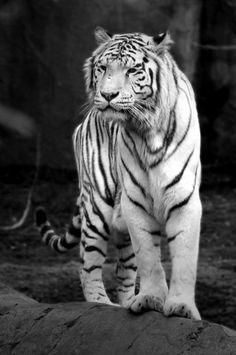 Animals - black and white