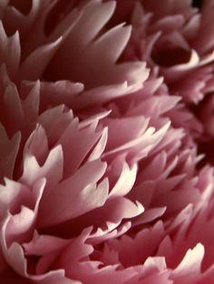 carnation / flower