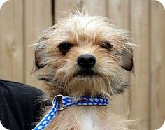 Yardley, PA - Yorkie, Yorkshire Terrier/Cairn Terrier Mix. Meet Michele T~B, a dog for adoption. http://www.adoptapet.com/pet/12581348-yardley-pennsylvania-yorkie-yorkshire-terrier-mix