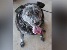 PHOTO: Ricky Bobby, a 13-year-old Australian Cattle dog, was rescued this month in California after waiting in the yard for his deceased owner.