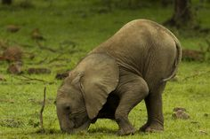 Africa | Elephant calf bent over and playfully rubbing its trunk and head in the grass near a stick. Masai Mara National Reserve, Kenya | ©Beverly Joubert